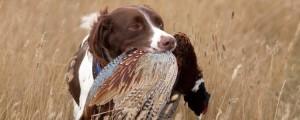 South Dakota Pheasant Hunting Pierre