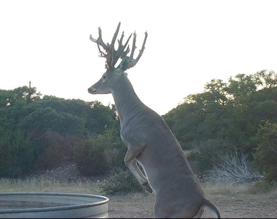 Texas Exotic Hunt & Whitetail - Junction