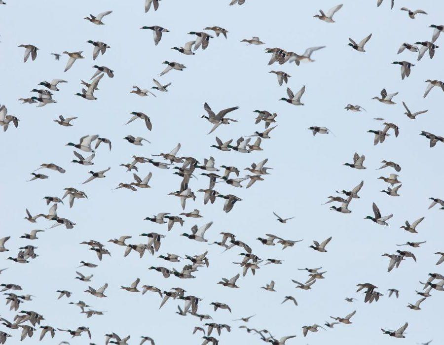 Nebraska Waterfowl Hunting