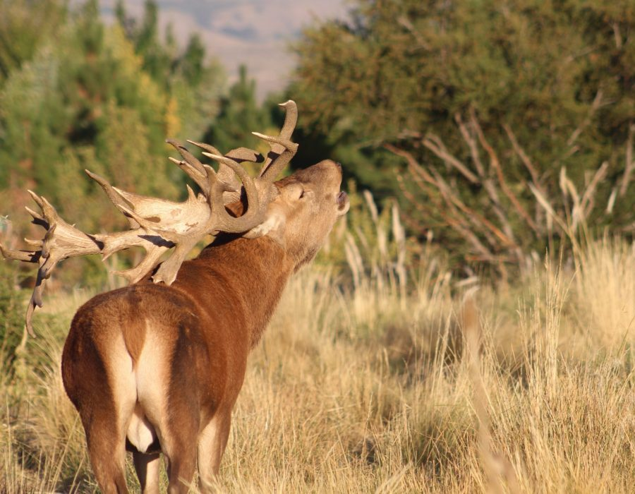 Red Stag Hunt Argentina – Patagonia