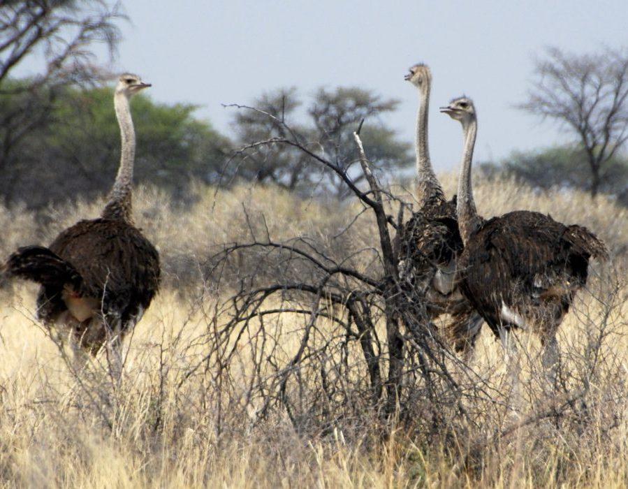 Namibia Plainsgame Hunt - Kalahari Desert