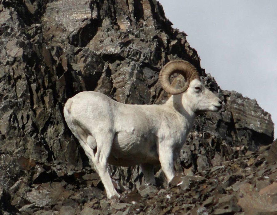 Alaska Dall Sheep Hunt & Moose Hunt