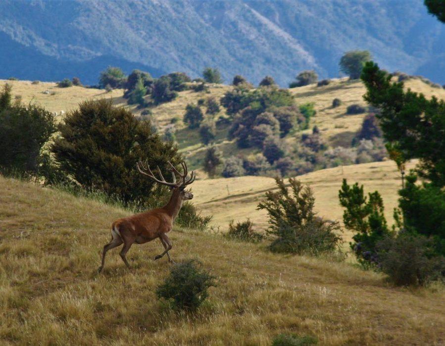 New Zealand Free Range Hunting - Marlborough