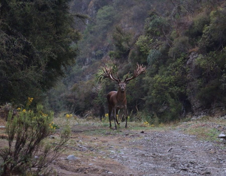 New Zealand Trophy Red Stag Hunting - Kaikoura