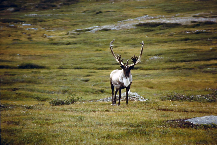 Newfoundland Caribou Hunt, Moose & Bear Hunting