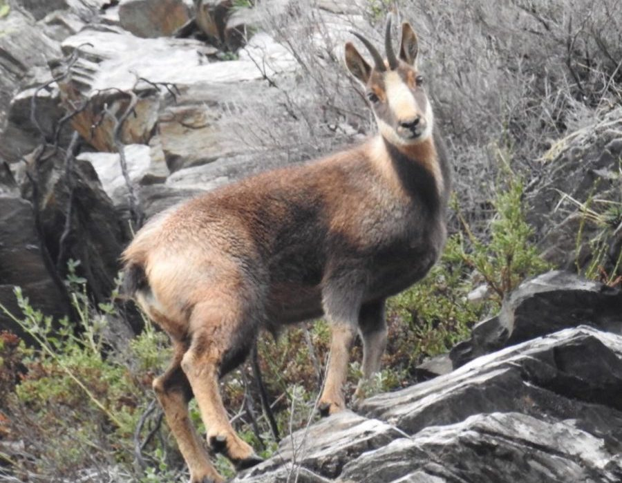 Spain Ibex Hunt and Chamois etc