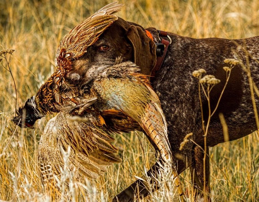 Montana Wild Bird Hunt